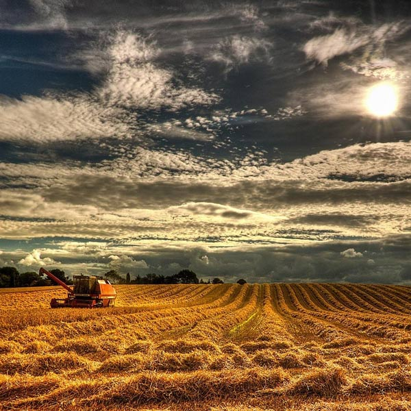 Beautiful-Ripe-Wheat-Field-images-HD-Photos